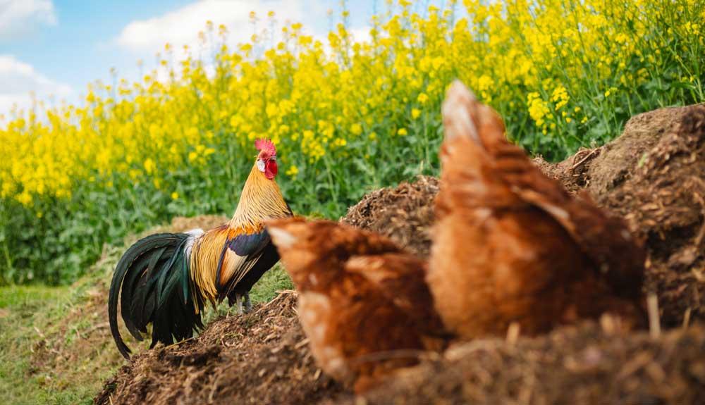 La poule comme compost : prenez des races à petits effectifs !