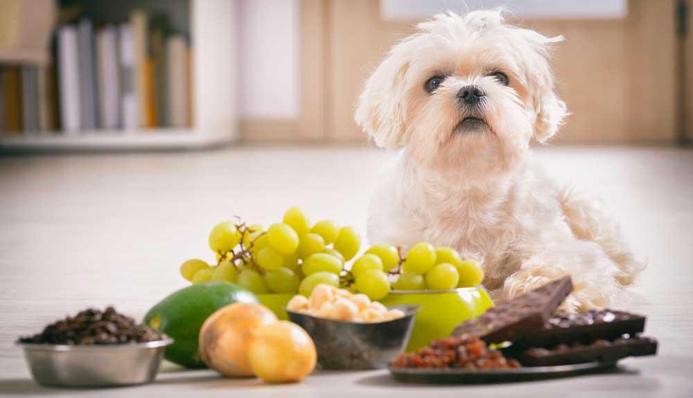 Les aliments interdits aux chiens