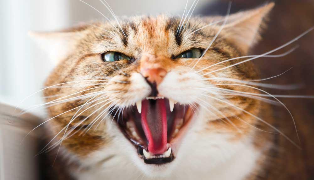 Pourquoi mon chat est agressif ? Comment réagir