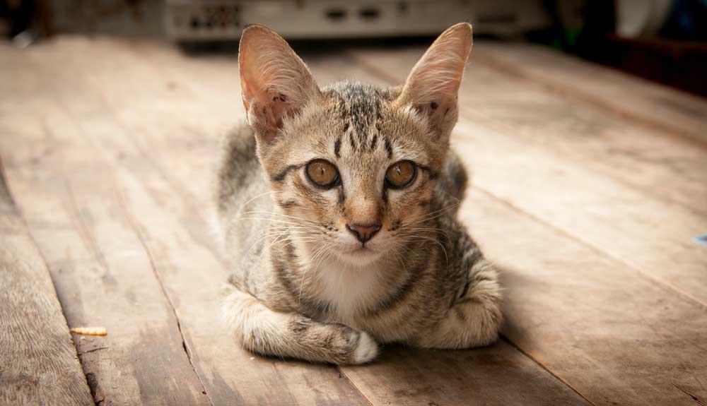 Mon chat est maigre : dois-je m'inquiéter ?