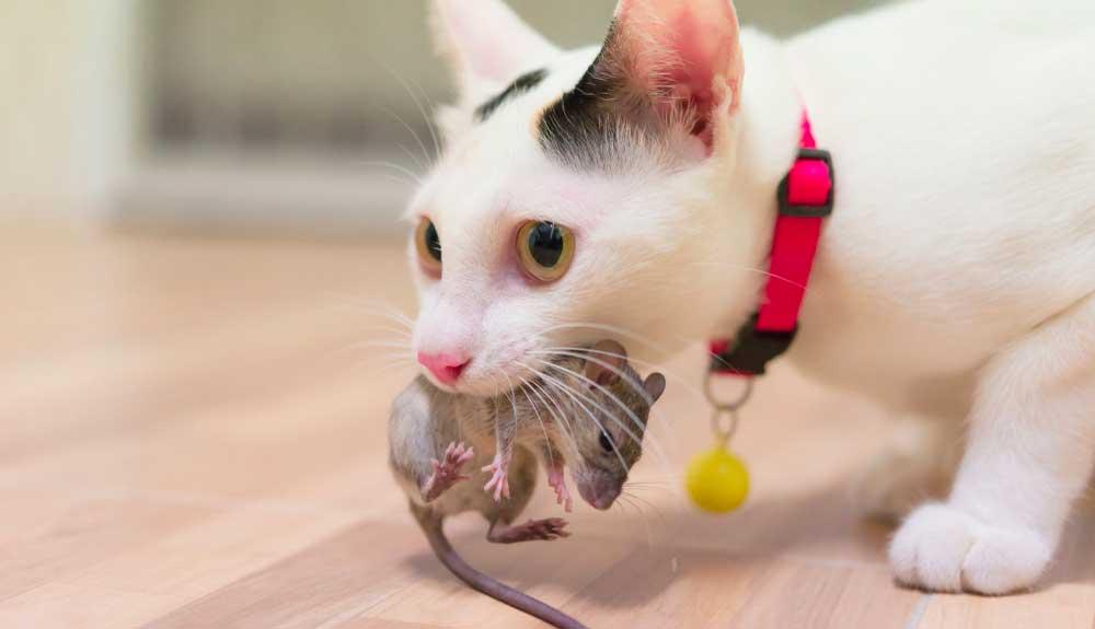 Mon chat ramène des souris vivantes : que faire ?