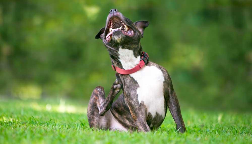 Comment savoir si mon chien a des puces ou tiques