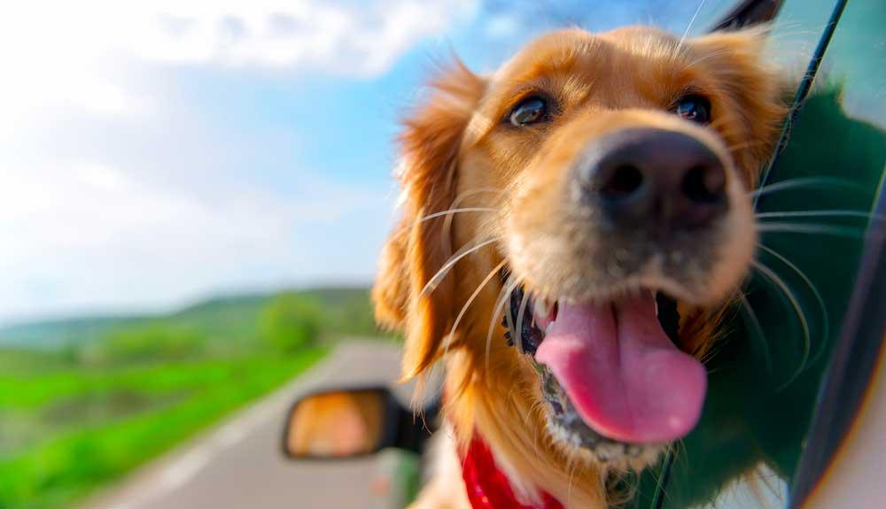 Mon chien est malade en voiture : quelles solutions ?