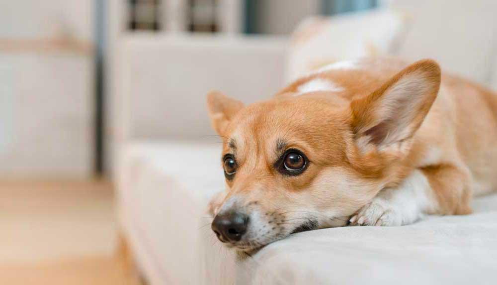 Faire stériliser sa chienne : bénéfices et conséquences